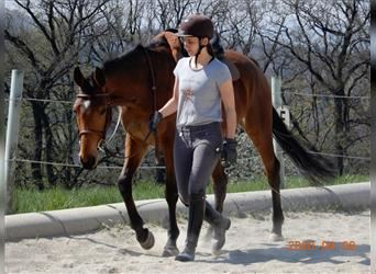 Budyonny, Mare, 10 years, 14.3 hh, Brown