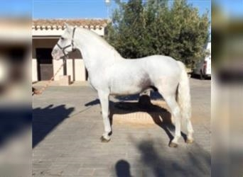 Andalusian, Gelding, 9 years, 16 hh