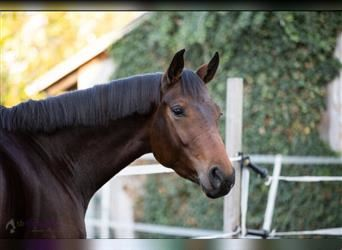 German Sport Horse, Mare, 4 years, 16.2 hh, Brown