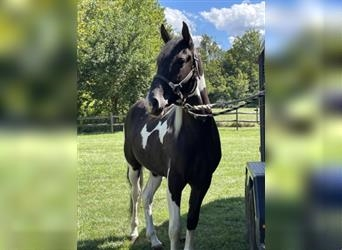 Spotted Saddle Horse, Hengst, 3 Jahre, 155 cm, Schecke