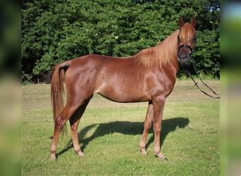 Straight Egyptian, Mare, 3 years, 14.2 hh, Chestnut-Red