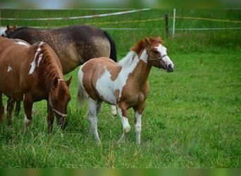 Paint Horse, Mare, Foal (01/2021), 14.2 hh, Tovero-all-colors