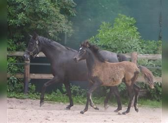 Straight Egyptian, Mare, Foal (03/2021), 14.2 hh, Black