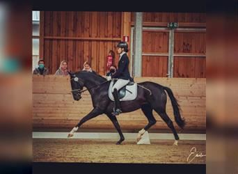 Trakehner, Mare, 5 years, 16 hh