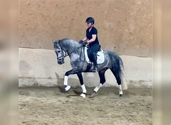 Andalusian, Gelding, 6 years, 15.2 hh, Gray-Dapple