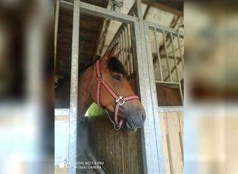 Czech sports pony, Mare, 10 years, 13.2 hh, Brown