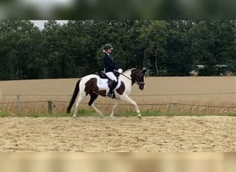 German Riding Pony, Mare, 5 years, 14.1 hh, Pinto