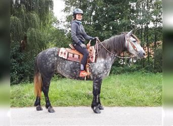 More ponies/small horses, Mare, 7 years, 14.2 hh, Gray-Dapple
