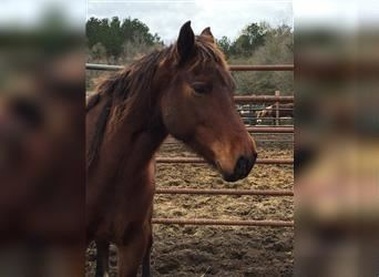 Mustang (american), Mare, 7 years, 14.2 hh, Brown