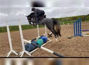 Danish Warmblood, Mare, 3 years, 16.1 hh, Can be white