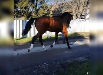 Other Warmbloods, Stallion, 3 years, 17 hh, Pearl