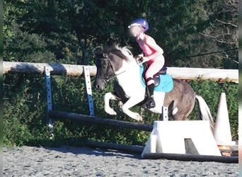 Shetland Ponies, Mare, Foal (01/2021), 9.2 hh, Chestnut-Red