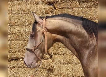 Andalusier, Hengst, 4 Jahre, 153 cm, Overo-alle-Farben
