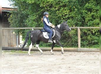 More ponies/small horses, Mare, 3 years, 14 hh, Pinto