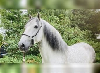 Andalusian, Gelding, 10 years, 15.2 hh