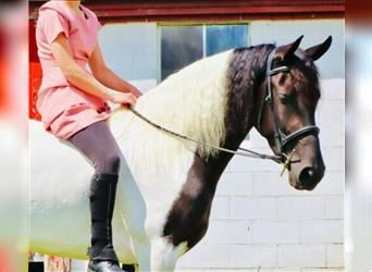 Friesian horses, Mare, 3 years, 15.1 hh, Pinto