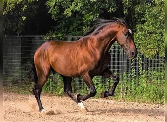 Andalusier, Hengst, 6 Jahre, 170 cm, Rotbrauner
