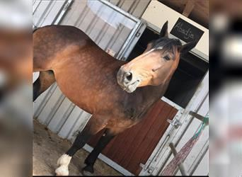 South German Coldblood, Mare, 13 years, 16 hh, Brown