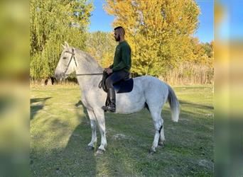 Hungarian Sport Horse, Mare, 10 years, 16.2 hh, Gray