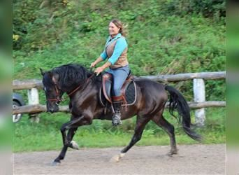 Andalusier, Wallach, 6 Jahre, 152 cm, Rappe