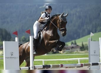 KWPN, Mare, 10 years, 16 hh, Brown