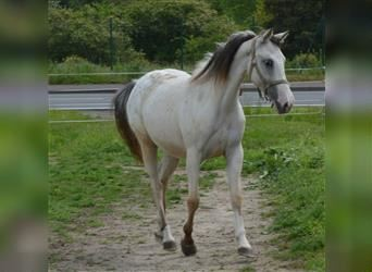 German Riding Pony, Mare, 2 years, 14 hh, Leopard-Piebald