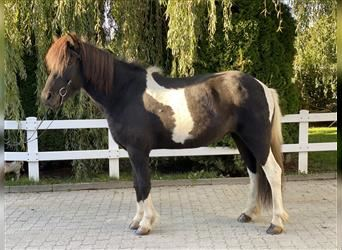 Icelandic Horse, Mare, 11 years, 14.3 hh, Pinto