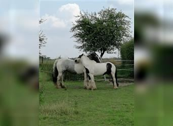 Gypsy Horse, Mare, 10 years, 13.3 hh, Gray-Blue-Tan
