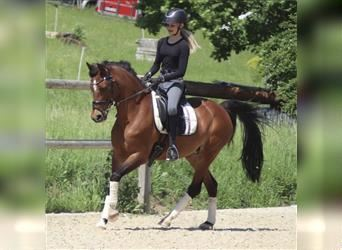 New Forest Pony, Mare, 16 years, 14.1 hh, Brown