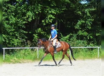 English Thoroughbred, Mare, 7 years, 15.2 hh, Brown