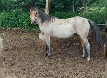 American Quarter Horse, Mare, 2 years, 14.3 hh, Roan-Bay
