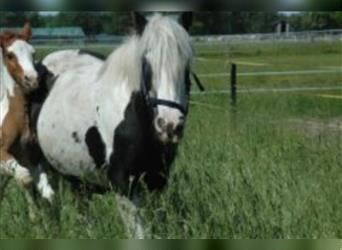 Gypsy Horse, Mare, 14 years, 13.2 hh, Pinto