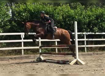 KWPN, Mare, 18 years, 16.1 hh, Brown