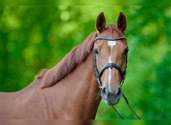 Other Warmbloods, Mare, 5 years, 16.1 hh, Chestnut-Red