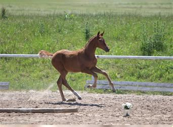 Trakehner, Mare, Foal (02/2021), 16.2 hh, Chestnut-Red