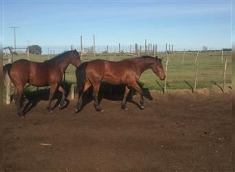 Polo Pony Mix, Mare, 2 years, 15.1 hh