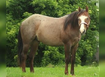 American Quarter Horse, Hengst, 2 Jahre, Roan-Red