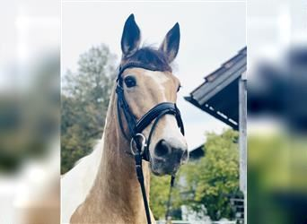 Other Warmbloods, Mare, 10 years, 15.1 hh, Pinto