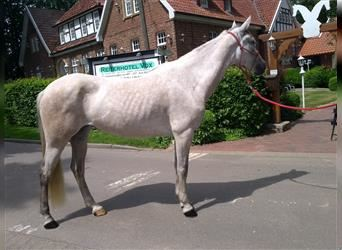 Spanish Sporthorse, Mare, 6 years, 15 hh, Brown Falb mold