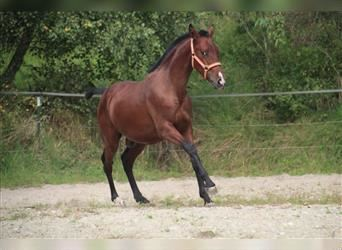 Andalusian, Stallion, 1 year, 15.2 hh, Bay
