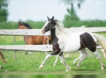 Baroque Pinto, Mare, 4 years, 16 hh, Pinto