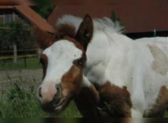 Gypsy Horse Mix, Stallion, Foal (01/2021), 14.2 hh, Pinto