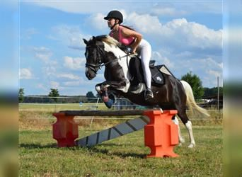 Welsh A (Mountain Pony) Mix, Mare, 13 years, 12.1 hh, Pinto