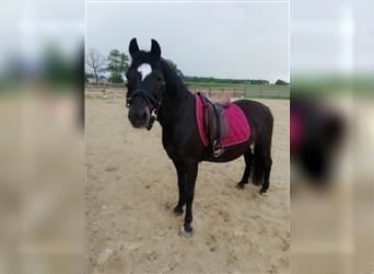 Welsh B Mix, Mare, 10 years, 12.2 hh, Black