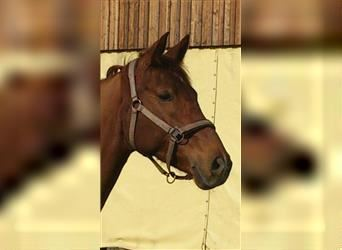 Baden Wuerttemberg, Mare, 15 years, 16.1 hh, Chestnut-Red