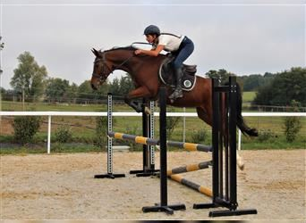 French riding pony, Gelding, 9 years, 14.2 hh, Brown