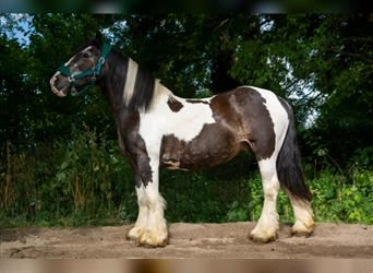 Gypsy Horse, Mare, 12 years, 14.1 hh