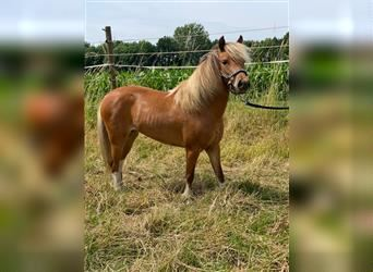 NMPRS, Mare, 3 years, 9.2 hh
