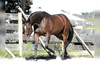 Other Thoroughbreds, Mare, 3 years, 16 hh, Bay