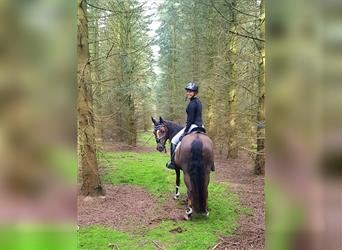 Welsh B Mix, Mare, 10 years, 13.2 hh, Chestnut